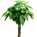 Neveljünk pénzhozó fát a kertben!