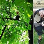 Fotó: Napokig rostokolt egy fán a megszökött kakas, állatmentők hozták le