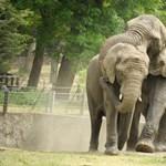 Elefántos szexvideót keres a Nyíregyházi Állatpark