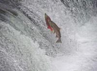 Megszökött 50 ezer lazac egy ausztrál halgazdaságból, a környezetvédők aggódnak