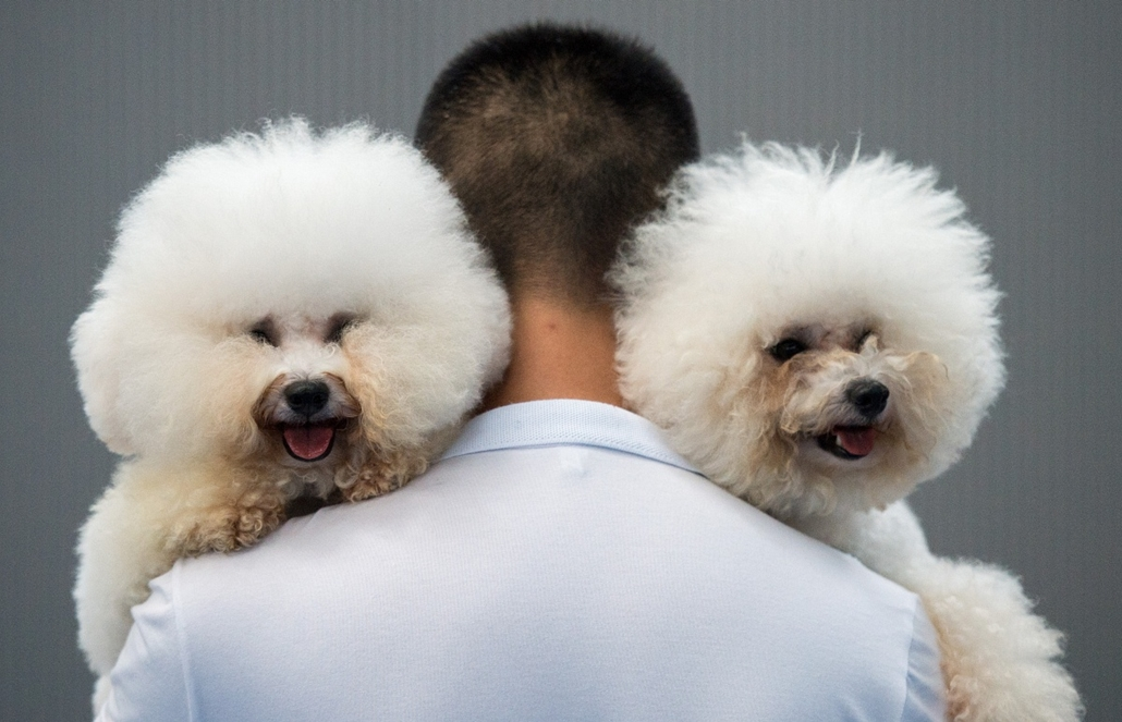 afp. 2014. állatos nagyítás, két kutya, Kína, HANGZHOU : This photo taken on September 7, 2014 in Hangzhou shows a man carrying two Bichon Frise named Paopao (L) and Benzen after a dog competition during a dog show. For three days the annual event sees ar