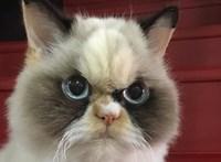 Még morcosabb macska lehet Grumpy Cat utóda