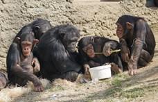 A csimpánzok is imádnak közösen filmet nézni. De mit mond ez el rólunk?