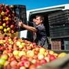 A fákon maradhat a magyar alma az osztrák felvásárló megalázó árszabása miatt – a Facebookon szerveződtek a gazdák