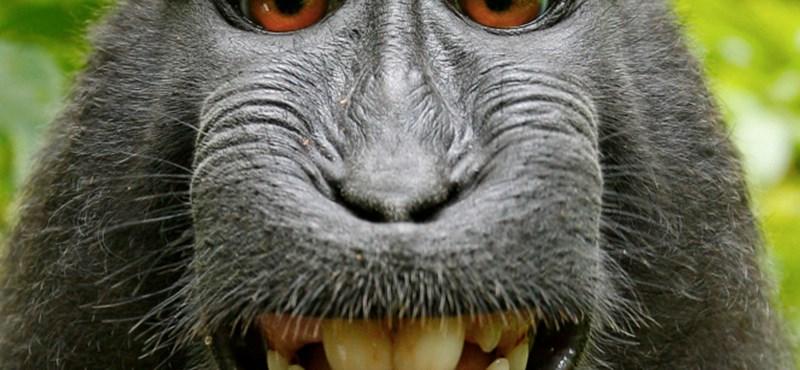 Szelfit csinált magáról egy majom, és most per lesz belőle