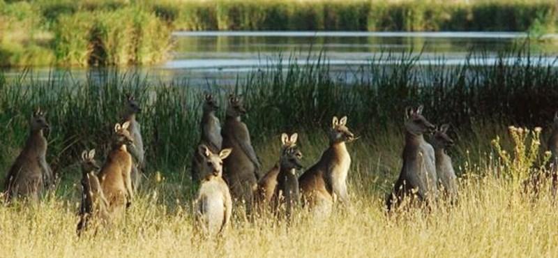 Miért ugrál a kenguru? Egy ősi fosszília írja át az eddigi álláspontot