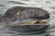 Rájöttek, miért pusztulnak sorra a szürke bálnák, és a válasz nem túl megnyugtató
