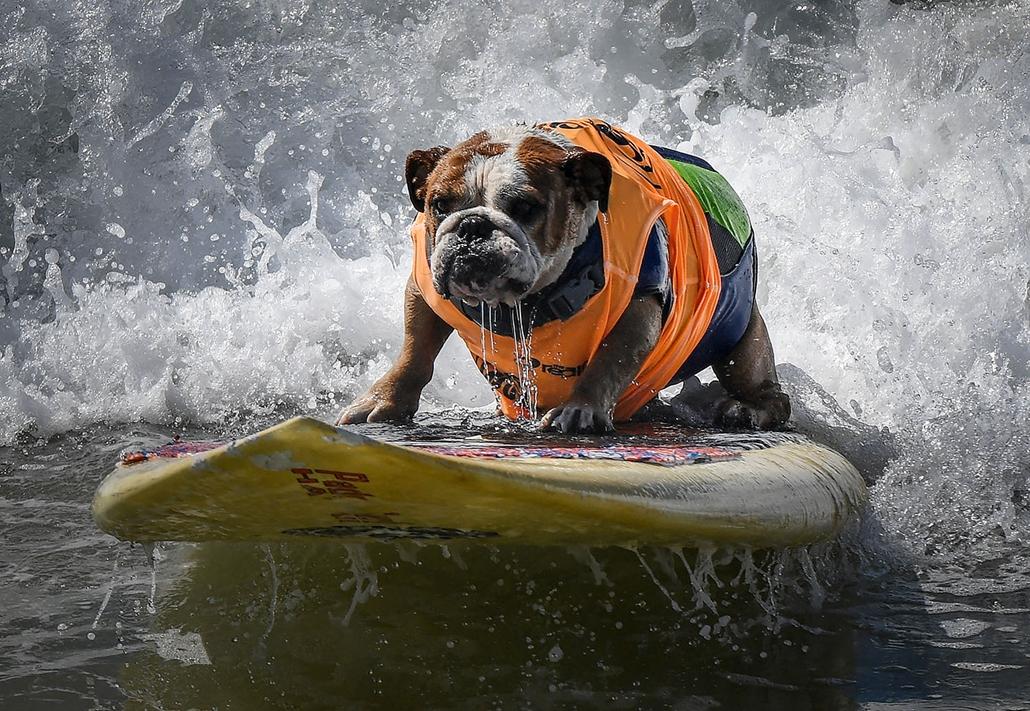 AFP - Nagyítás - Állati 2016 - 16.12.31. - Sully az angol buldog szeli a hullámokat a kaliforniai Huntington Beach-en rendezett kutya szörfversenyen