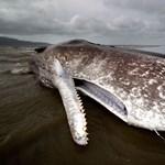 Fotó: Óriási ámbráscet vetődött partra