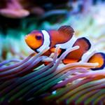 Már annyi a fény a korallzátonyok környékén, hogy a bohóchalak ihatják meg a levét