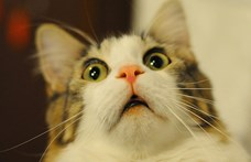 Gazdájától kaphatta el egy belga macska a koronavírust