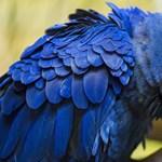 52 kék papagáj költözik Brazíliába, talán ez a faj utolsó esélye