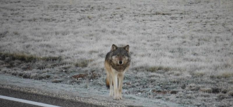 70 év után feltűnt egy farkas a Grand Canyonban - fotó