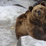 A medve nem játék, a franciáknál sem