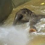 Elpusztult Asha, a budapesti állatkert elefántja
