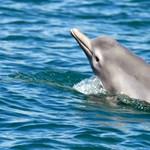 Nem hagyják abba a delfinek mészárlását a taidzsi halászok