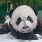 Milyen hamar találjátok meg a pandát?