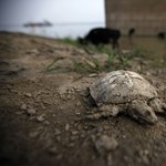 A gyík a teknős rokona, nem a krokodil