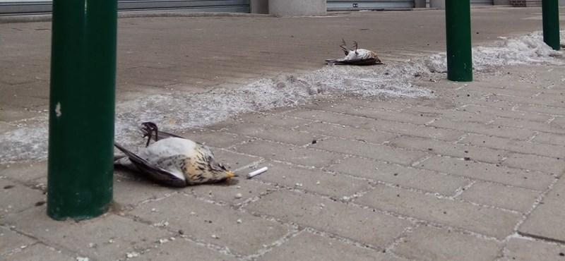 Fenyőrigók tömegeit gyilkolják a Váci úti irodaházak