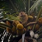 Majommunka-mentességet igazoló címkével árusítják a jövőben a thaiföldi kókuszdiót