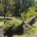Szomorú látványt nyújtanak a fák a Margitszigeten az ár után – fotók