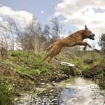 Puhaszájú vadászkutyák bevetésen - Nagyítás-fotógaléria