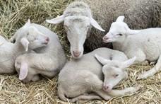Parlagfű-mentesítést is tartanak a magyar bárányok, mielőtt az olasz ünnepi asztalra kerülnek