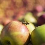Elmarad idén az almaháború, de attól még semmi nincs rendben