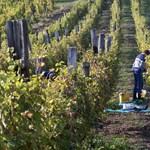 Elvitte a szárazság a szőlő negyedét