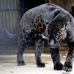 Az életét kockáztatta egy jaguáros szelfiért egy arizonai állatkert látogatója