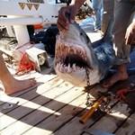 Elfogták az egyik gyilkos cápát Egyiptomban