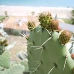 A kaktusz mentheti meg a XXI. századot
