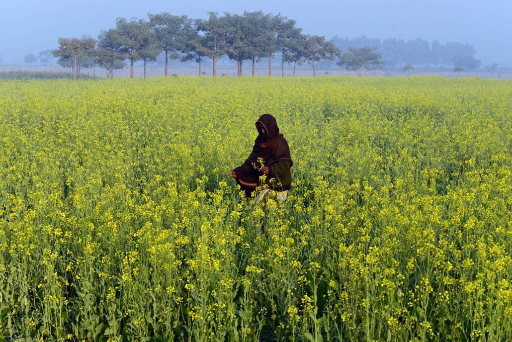 Lahore, Pakisztán: nő mustárvirágok közt - 7képei