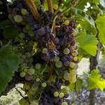 Nagy tettek helyett zúgolódó szőlősgazdák Tokajban