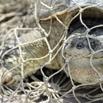 Fotó a Veresegyházon fogott veszélyes teknősről