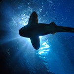 Harminc cápa pusztult el egy francia akváriumban