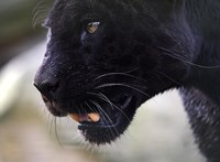 Sérült fekete párducot láttak Skóciában