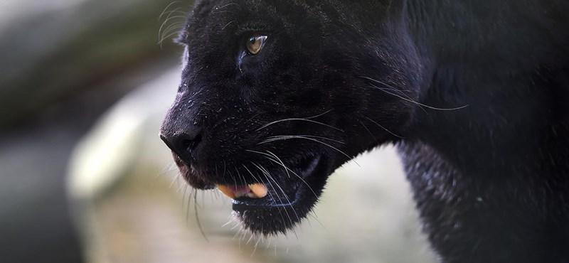 Fekete párducot loptak el egy francia állatkertből