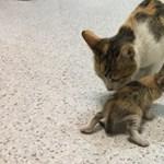 Kórházba vitte kicsinyét egy macskaanya