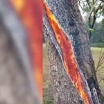 Nézze meg, hogyan ég egy fa belseje egy villámcsapás után - videó