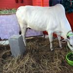 Katasztrófa fenyegeti a tejtermelőket a szent tehenek miatt