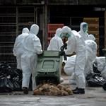 Újabb helyen jelent meg a madárinfluenza, milliárdos károktól félnek a termelők