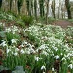 Még nem késő elültetni a hóvirágot! Kertész tippek