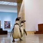 Múzeumlátogatásra vittek pingvineket, hogy ne unatkozzanak