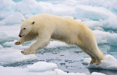 Végre van egy jó hírünk a jegesmedvékről