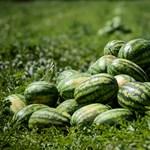 A késői spanyol dinnye miatt lehetnek gondban a magyar termelők