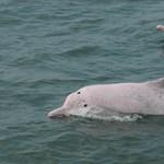 Leállt a kompközlekedés, visszatérnek a delfinek a Hongkong körüli vizekbe