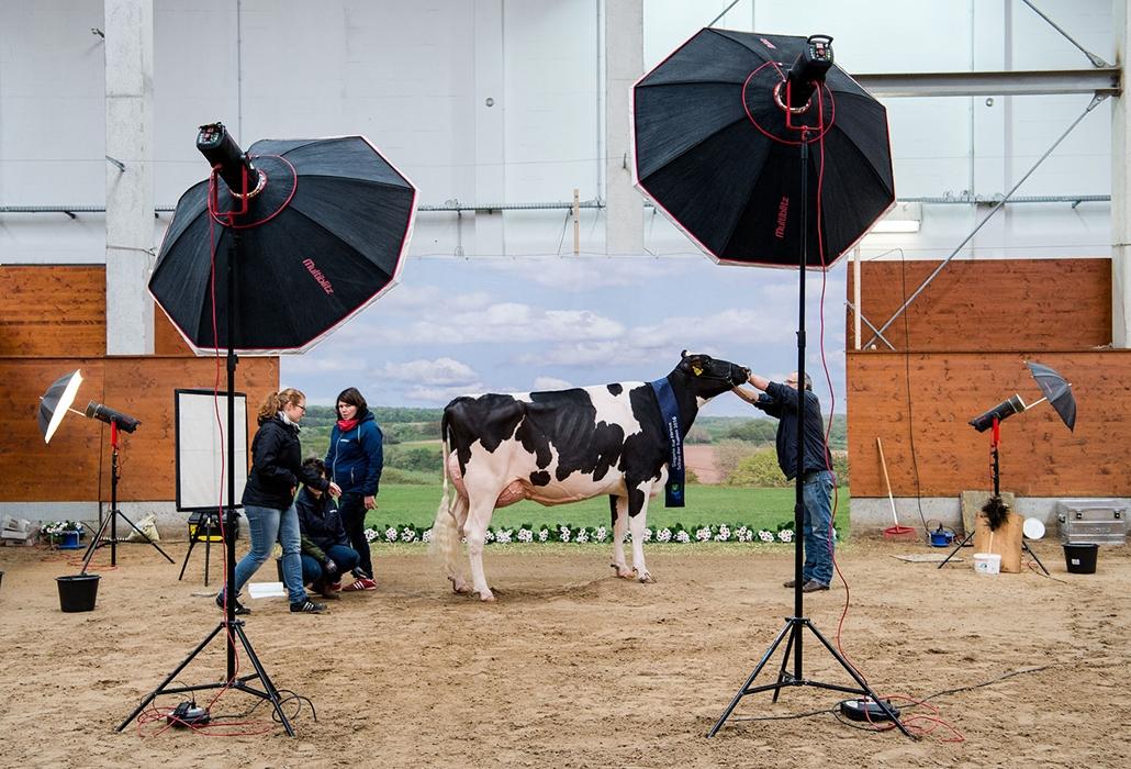 AFP - Nagyítás - Állati 2016 - 16.12.31. - A fotográfus beállítja modelljét az alsó-szászországi Verden városkában tartott tehén szépségversenyen. A megmérettetésen közel 200 induló közül választották ki a legszebbet.