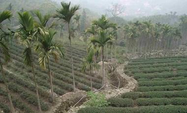 Drágábbá és egészségtelenebbé teszi a teát a klímaváltozás