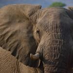 Elefánt taposta halálra, az oroszlánok felfalták az orvvadászt Dél-Afrikában